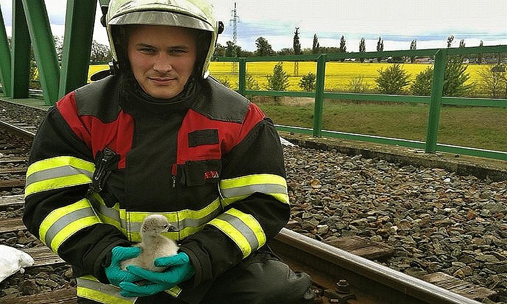 Hasiči zachránili mláďata labutí